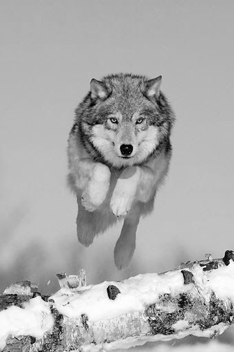Wolf. Beautiful animal photography and pictures. Helpful when learning how to motivate yourself in life for success. Works well with motivational sayings, words of wisdom and inspirational quotes. For more great inspiration follow us at 1StrongWoman.