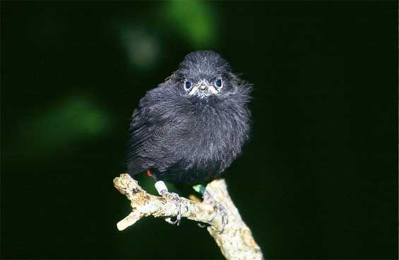 """Who you lookin' at?"" Chatham Island black robin. Photo: Don Merton #nzbirds"