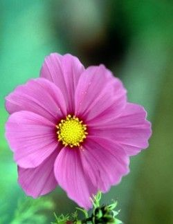 cosmos flower tattoo | OT - October birth flower - October 2008 Birth Club - BabyCenter
