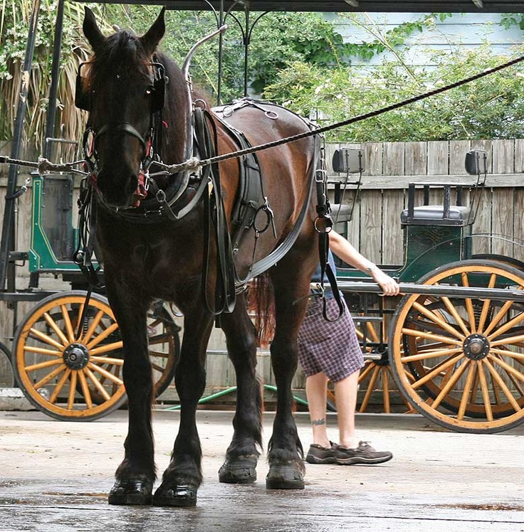 68 best images about charleston carriage horses on pinterest