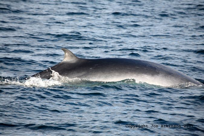 Bryde's Whale, Isla Fernandina: The adult male Bryde's whale measures 12.2 to 15.2 meters (40 to 50 feet) and weights about 13 tons. They have a bluish-gray body with white on the underside