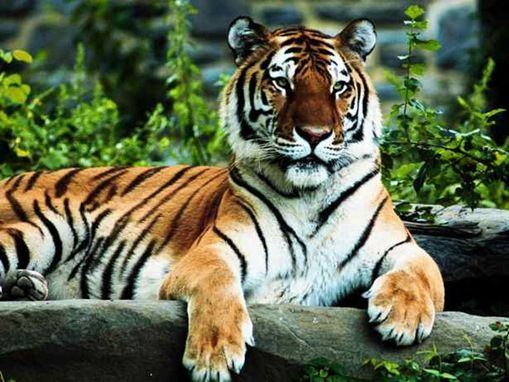 endangered species: bengal tiger essay India's population of tigers, which once surpassed 100000 animals,  in the wild,  and the the sumatran tiger is listed as critically endangered the others – the  indochinese, the malayan, the siberian and india's bengal tiger,.