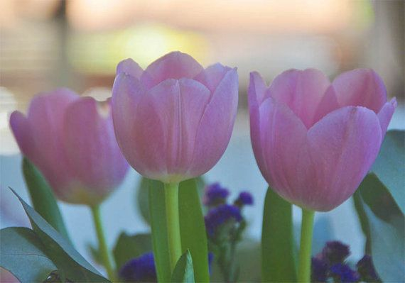 Pink Tulips by FoxiCollection on Etsy