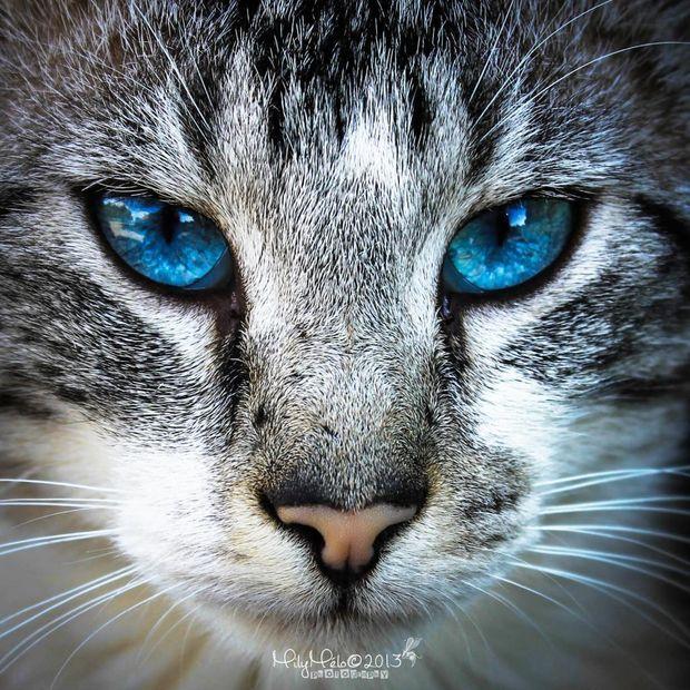 Photo prise par Emilie Loiselle De 60 à 80% des chats entièrement blancs et aux yeux bleus sont sourds.Trouvez la meilleure assurance pour votre animal de compagnie grâce à ce comparateur en ligne Découvrez d'autres images d'Emilie Loiselle