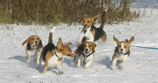The #beagle Characteristics | Beagles!!! | Pinterest | Parks, Beagle puppies and My house