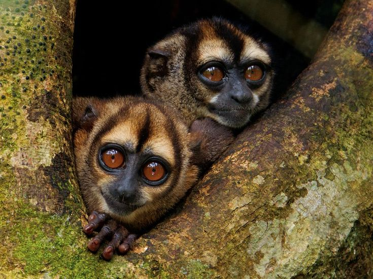 The noisy night monkey (Aotus vociferans) is one of ten confirmed monkey species that live in Ecuador's Yasuní National Park, one of the world's wildest places.