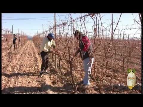Видео виноделов Виналопо Valley (Испания) качество виноградной лозы, чтобы получить лучший виноград в мире мешках с PDO.
