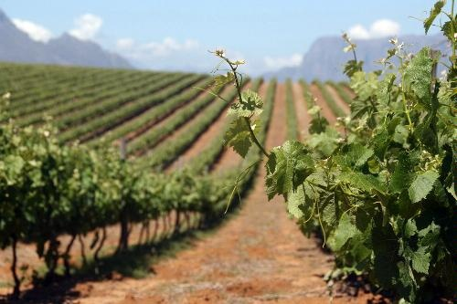 The wineries in Stellenbosch near Cape Town look like something out of an Italian Painting!