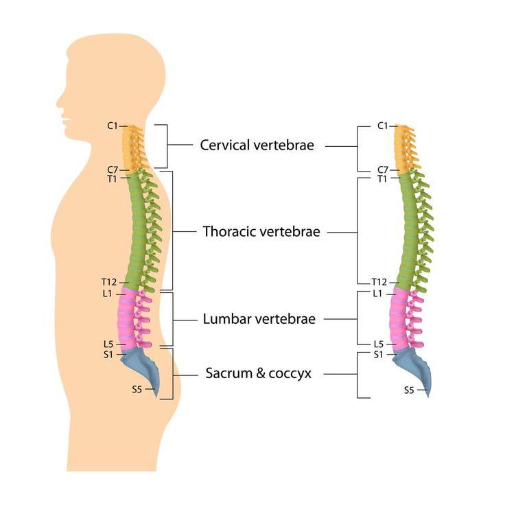 Halswirbelsäule HWS, Brustwirbelsäule BWS, Lendenwirbelsäule LWS, Sakralwirbelsäule, Kreuzbein, Steißbein. => 33/34 Wirbeln. Mehr Infos...