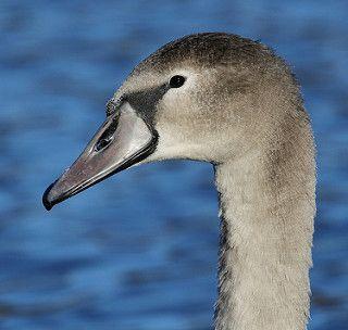 Mute Swan portrait | Mute Swan (Cygnus olor) Råstasjön, Ra… | Flickr