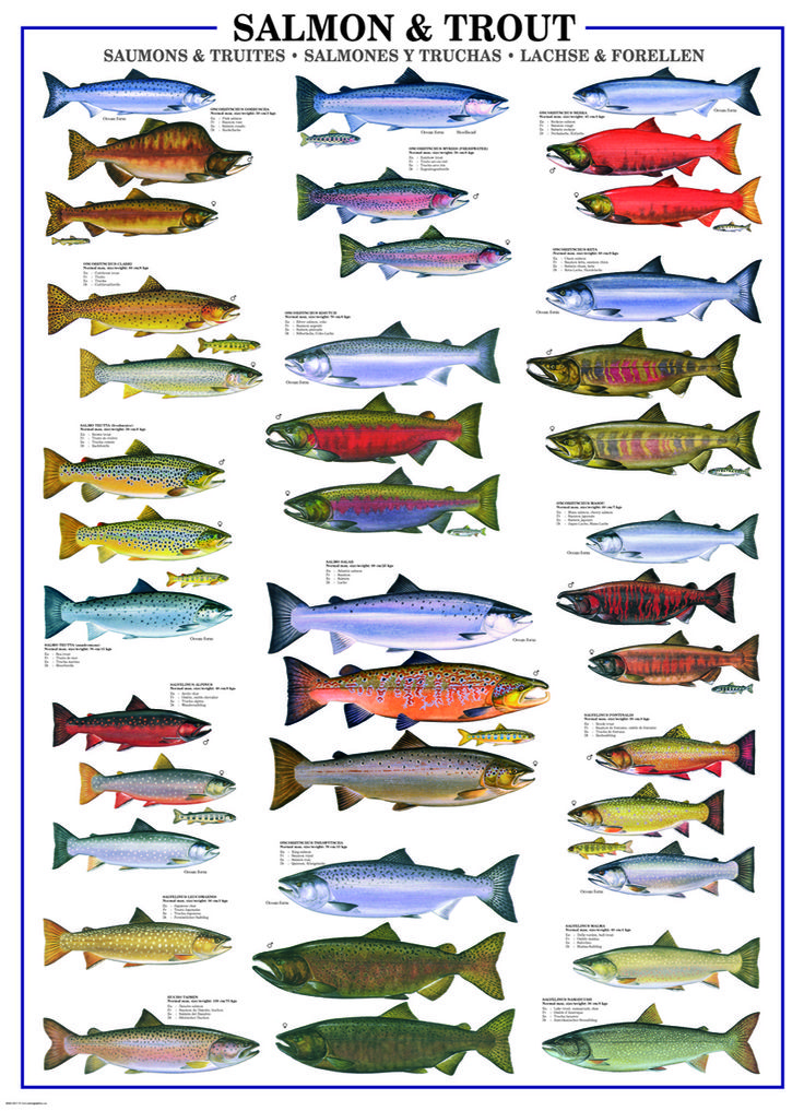 Eurographics salmon trout 1000 piece puzzle this puzzle for Trout fishing techniques
