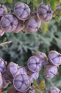Seed Pods #Mint And Lavender