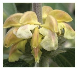 Phlomis 'Lemon Blush' | Lambley Nursery silver foliage 1 x 1 m