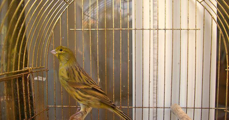 Sintomas de un canario agonizante. Los canarios pueden ser una mascota maravillosa para cualquier familia que guste de las aves, proporcionando color brillante, audaz y una canción alegre en nuestras vidas. Por otro lado, son aves muy sensibles y pueden ser víctimas de enfermedades, venenos, tensiones en su entorno y de las deficiencias nutricionales con un rápido declive. Los ...