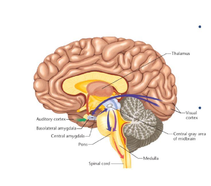 beware of amygdala hijacks! in 2020 | Brain diagram, Human ...