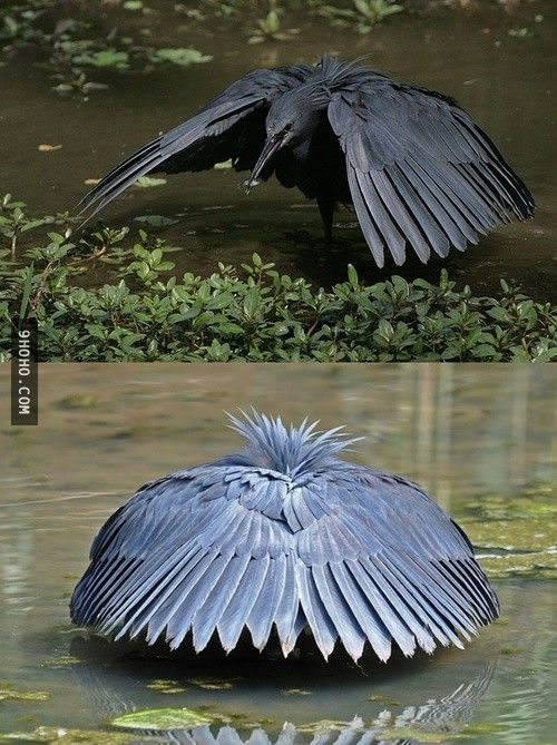 Black Heron shades water with wings to see prey better.