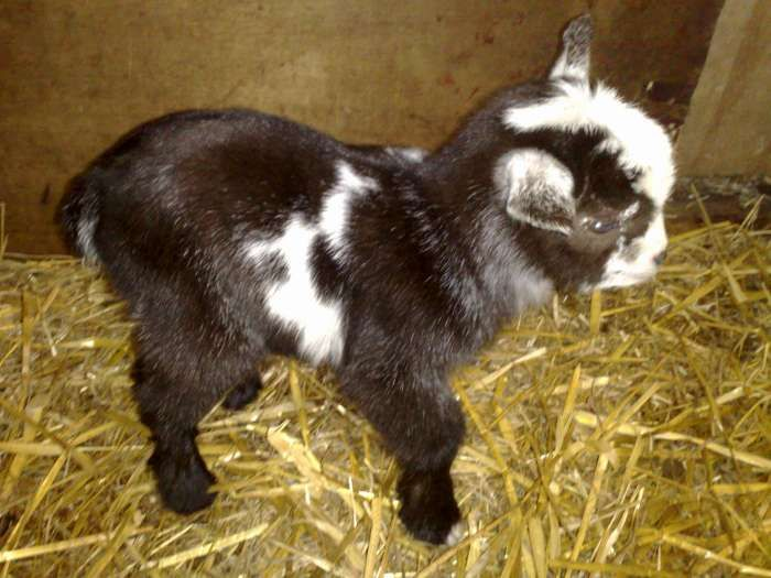 Mini Pygmy Goats for Sale in Ohio We love our alpacas and love taking care of them. To see more stunning alpacas and their finished products visit http://sacredmountainfarms.com.