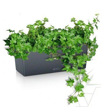 Плющ 50 см  4800rub  ампельное растение позволяющие декорировать вертикальные стены. Хорошо сажать в кашпо с автополивом