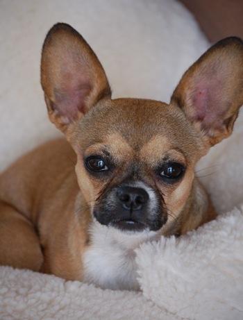 French Bullhuahua (French Chihuahua) (Frencheenie ...