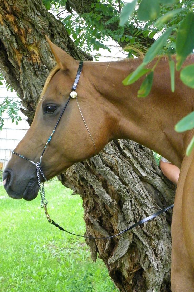 ZoeArabian Egyptian, Horses Arabian, Zoe Arabian, Pretty Girls, Beautiful Arabian, Pretty Arabian, Bags, Animals Horses, Arabian Horses