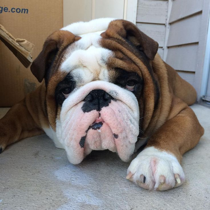 top english bulldog breeders best 25 cute bulldogs ideas on pinterest bulldog 3452