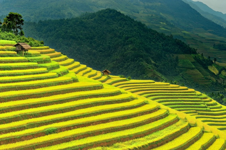 Lovely terrace at the harvest time at  Ba Nha terrace rice field.