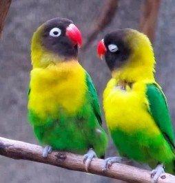 http://memelihara.com/jenis-lovebird.html
