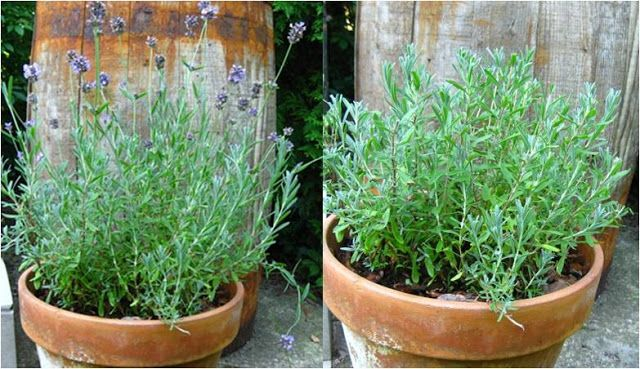 Ewa in the Garden: Pruning lavender for more flowers