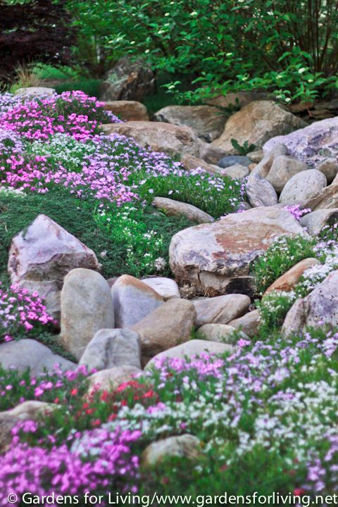 Creeping Phlox Rock Garden around the trees in front yard