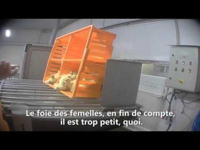 VIDEO. PRODUIRE LE FOIE GRAS - Les canetons femelles sont broyés vivants (Malgré La Crise et La Pauvreté)