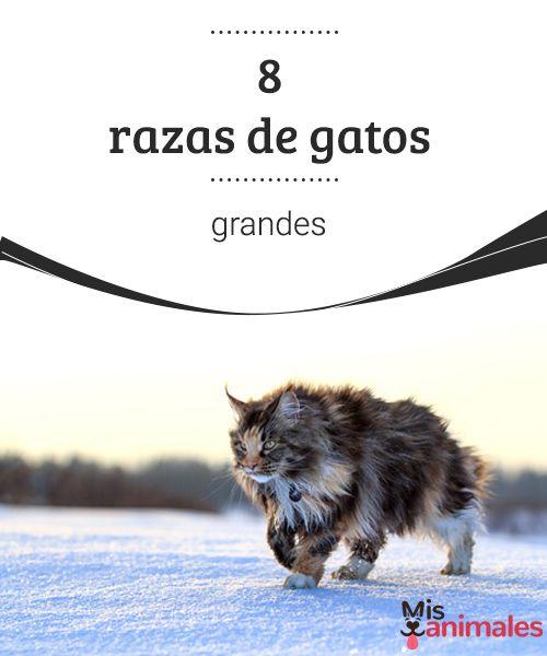8 razas de gatos grandes Hay quien dice que los gatos son tigres en miniatura, en honor a sus hermanos salvajes, veamos algunas razas de gatos grandes. #razas #felinos #grandes #curiosidades