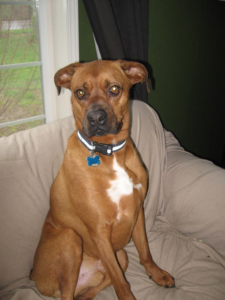 lab boxer mix temperament boxer mix pinterest boxer mix labs and boxer mix puppies. Black Bedroom Furniture Sets. Home Design Ideas