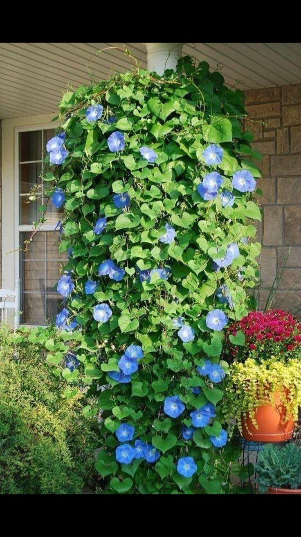 Pin by Laura Machicek on Symbolism Plants, Morning glory