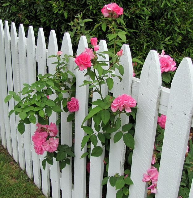 Pink Roses on a White Picket Fence by snow41, via Flickr