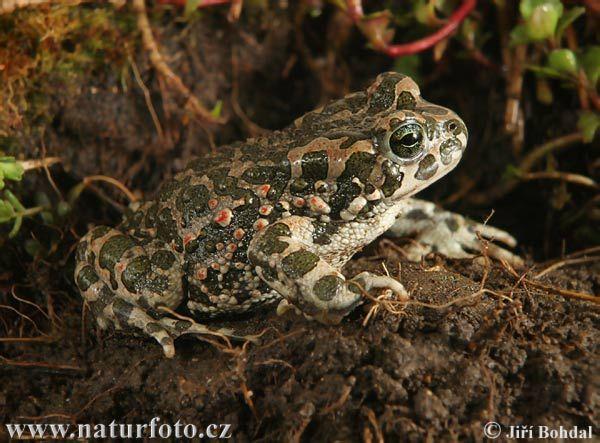 Ropucha zelená (Bufotes viridis) - žije v teplejších oblastech, především v nížinách