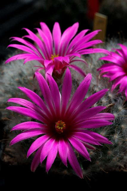 17 best images about mammillaria on pinterest