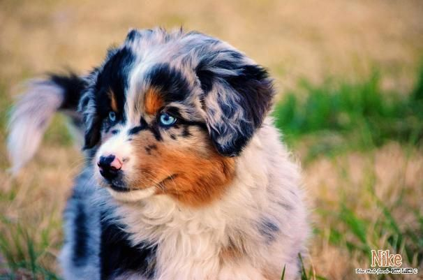 Blue Merle Australian Shepherd Puppies Akc Asca Long Tail Blue Ey Australian Shepherd Puppies Australian Shepherd Blue Merle German Shepherd Puppies Training