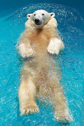https://flic.kr/p/7eA2E3   polar bear Yuki