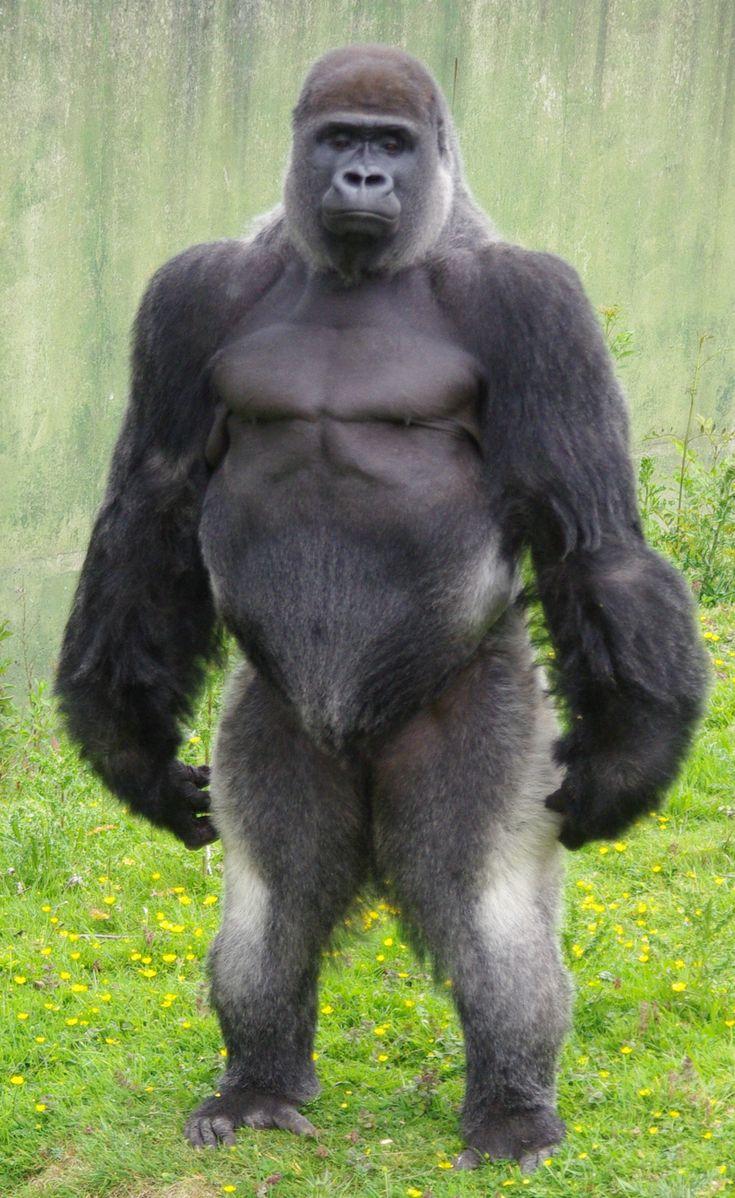 Animal kingdom coloring book gorilla - Silverback Gorilla Strength Bing Images
