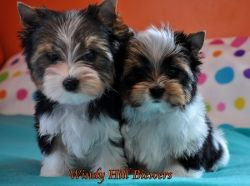 Available Puppies | Biewer Puppies for Sale | Biewer Yorkshire Terrier Breeder