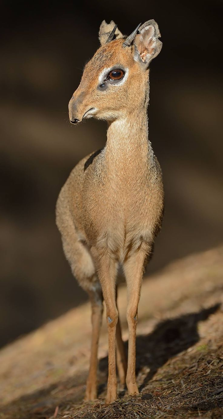 "Dik Diks are the best best.  ""Dik-dik"" is the moniker for any of 4 species of tiny antelope in the genus Madoqua native to Eastern and Southern Africa.   Photo by Mike Wilson"