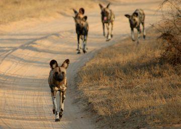 Los perros salvajes que votan en asamblea