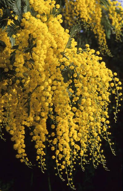 Acacia dealbata, favorite childhood plant. Apparently, it had no business growing in Ukraine as it is a New Zealander. We called it mimosa.