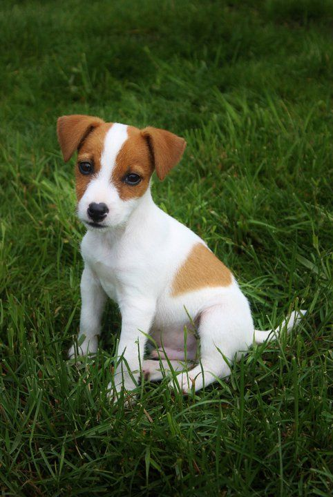 Jack Russell Terrier puppy :-) Winston!my favourite doggy