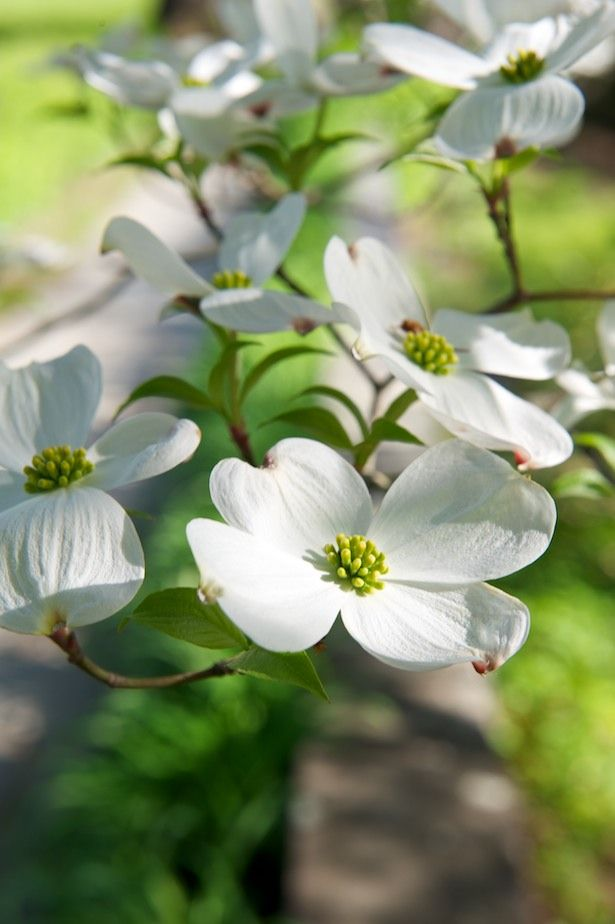 Dogwood Flowers are the best. Reminds we of the woods in Maryland .