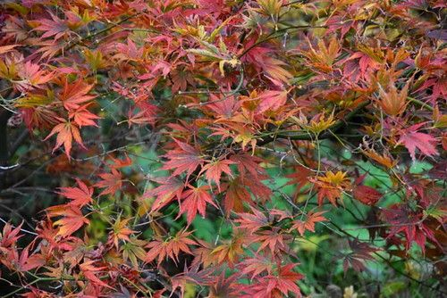 MAPLE TREES: Maple trees are large, deciduous trees that grow throughout the world. In the United States, they are more common in the northern states. Many people know maple trees for their spectacula