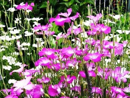 Агростемма изящная — A. gracile Boiss. (A. githago f.gracilis hort).:  неприхотливость и универсальность. Посадка производится как осенью, так и ранней весной, в обоих случаях всхожесть будет хорошей.