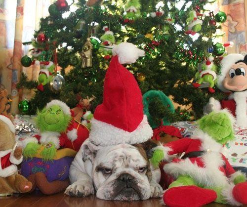 Merry grinchmas from a disgruntled bulldog