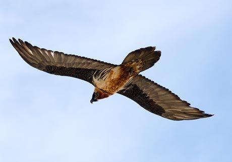 Bearded Vulture, Alps Cuneesi #nature #piemonte #italy #provinciadicuneo