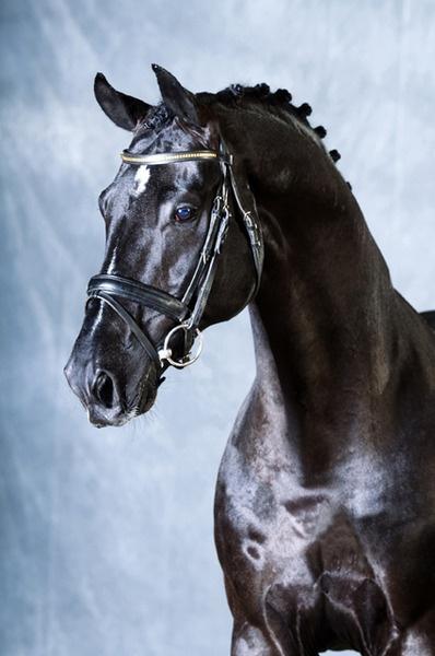 What a Grand Looking Horse !!   OLDENBURG stallion Depardieu, the Brave Heart. Sire: De Niro. Approved for: Oldenburg, Hanoverian, Westphalian, Rheinlander, Denmark